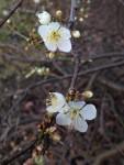Schlehenblüte (Copyright: wilderwegesrand.de)
