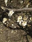 Schlehenblüten (Copyright: wilderwegesrand.de)