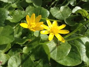 Scharbockskraut-Blüten/ Copyrigt: wilderwegesrand.de
