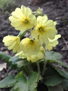 Gefleckte Blütenblätter einer Schlüsselblume / Copyright: wilderwegesrand.de