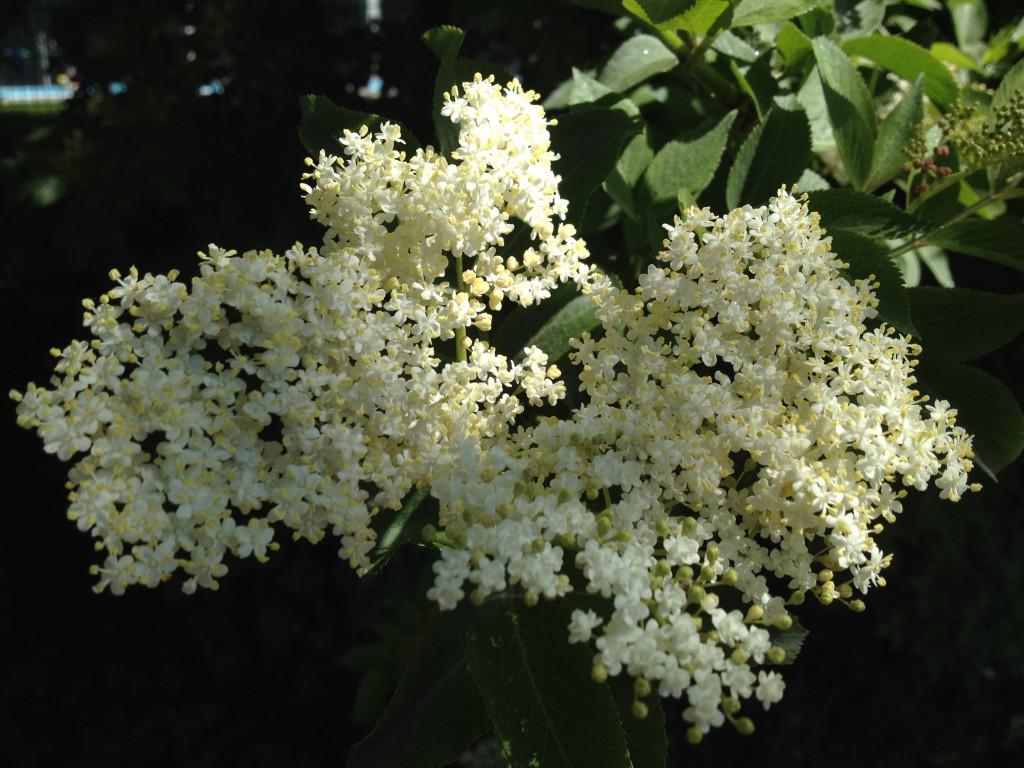 Holunderblüte (Copyright: wilderwegesrand.de)
