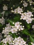 Weißdornblüten an einem Ast