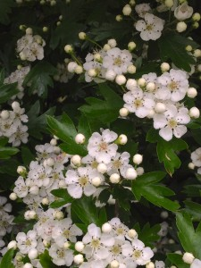 Duftender Tee: Weißdorn-Blüten