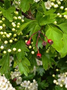 An diesem Weißdornstrauch sieht man noch die Früchte vom letzten Herbst