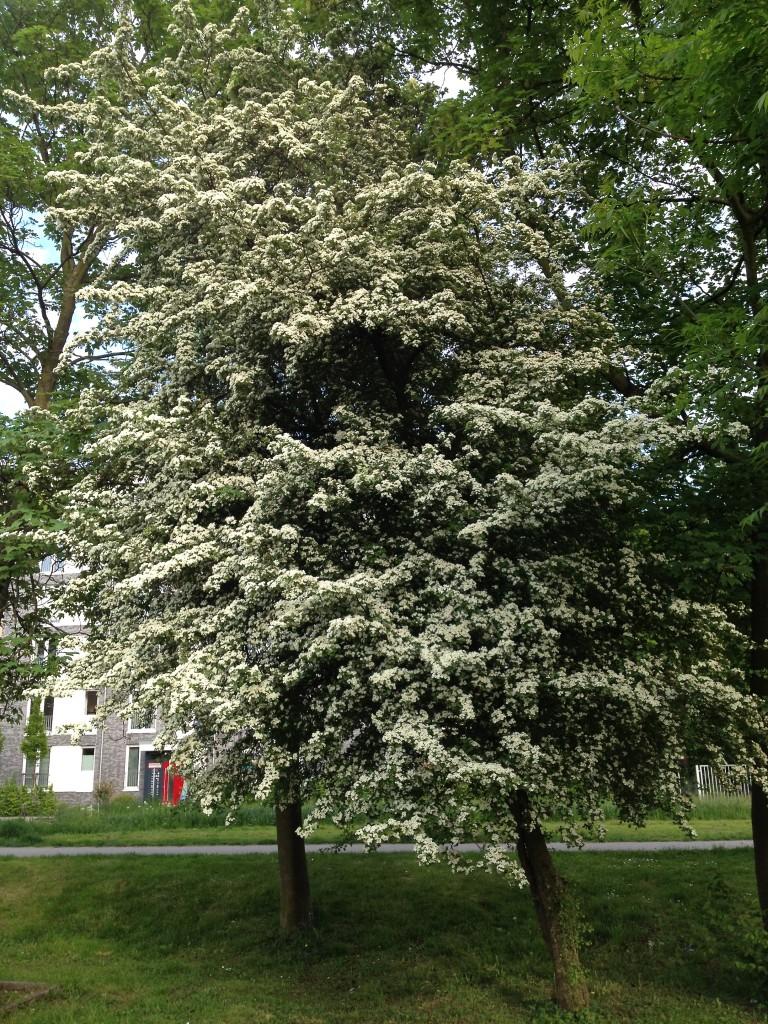 Als hätte es geschneit: Ein blühender Weißdornbaum