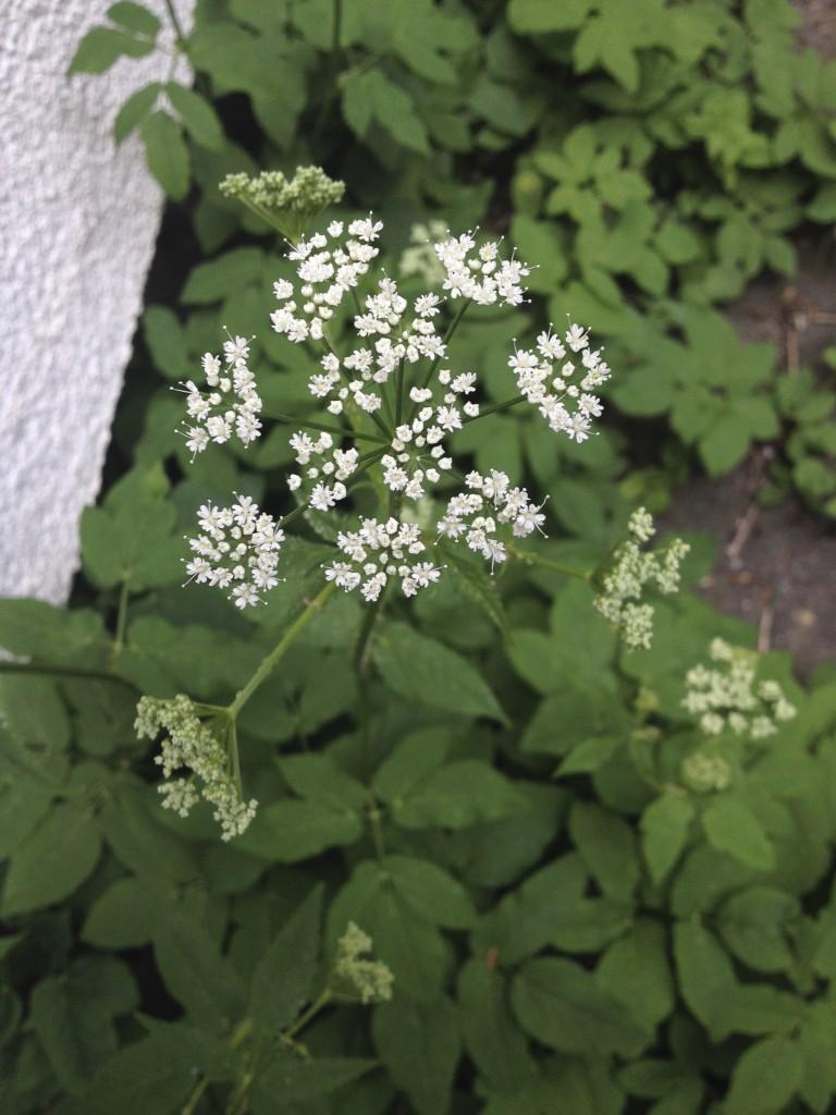 Giersch_Blüten_1