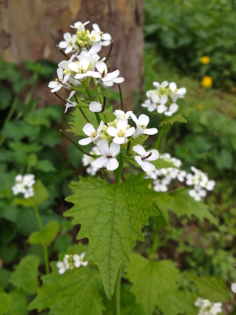 Blüten und Samen der Knoblauchsrauke (Copyright: wilderwegesrand.de)