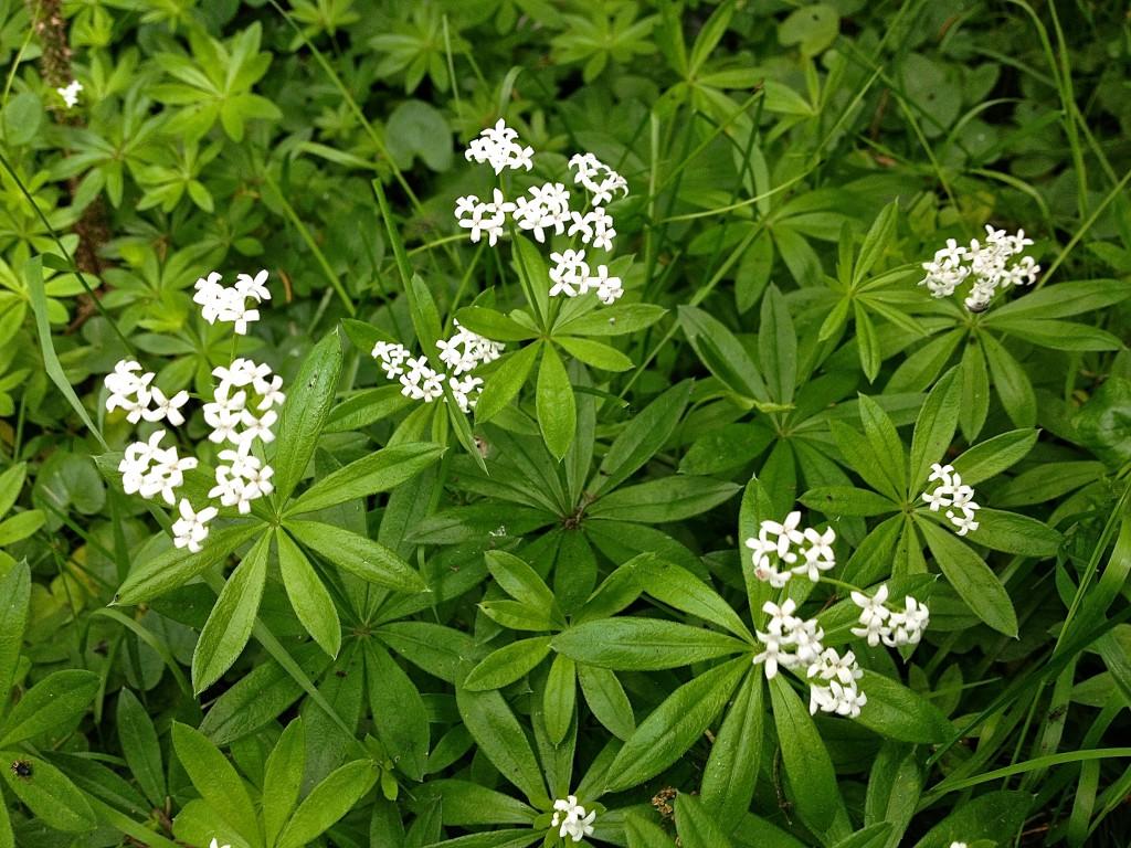 Blühende Waldmeisterpflanzen von oben (Copyright: wilderwegesrand.de)