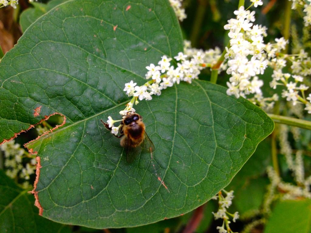 Eine Biene sammelt Pollen von einer Blüte des Japanischen Knöterichs (Copyright: wilderwegesrand.de)