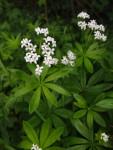 Enorm aromatisch: Waldmeister (Copyright: wilderwegesrand.de)