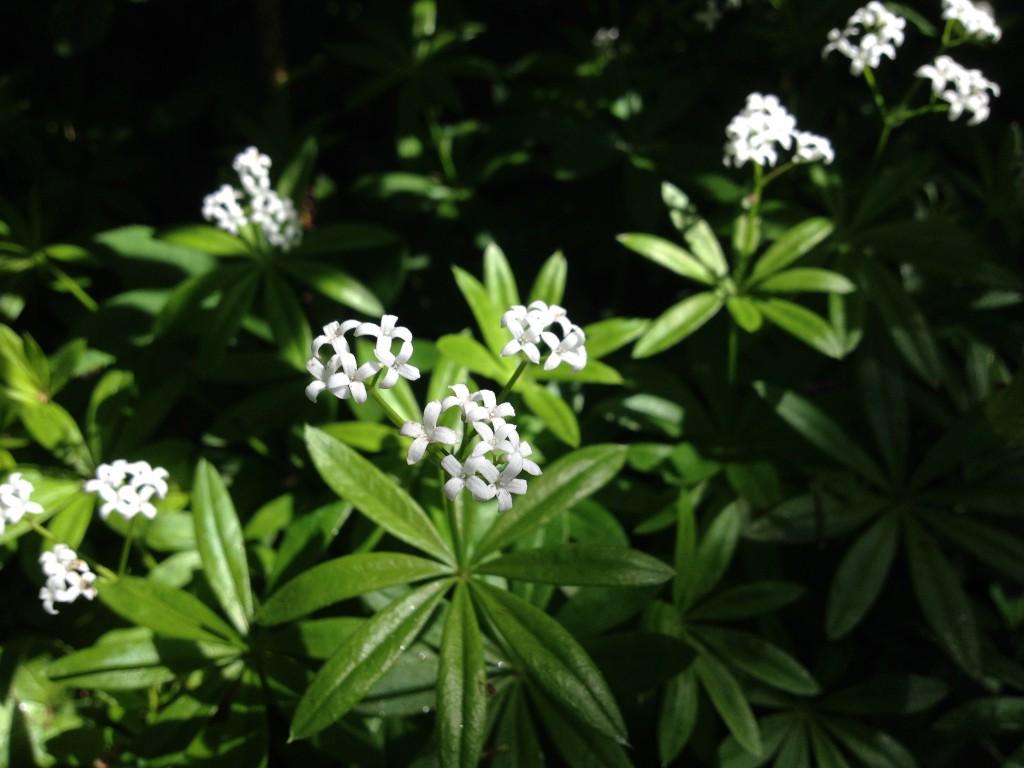 Licht und Schatten auf blühenden Waldmeister-Pflanzen (Copyright: wilderwegesrand.de)