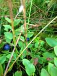 Blaubeere (Copyright: wilderwegesrand.de)