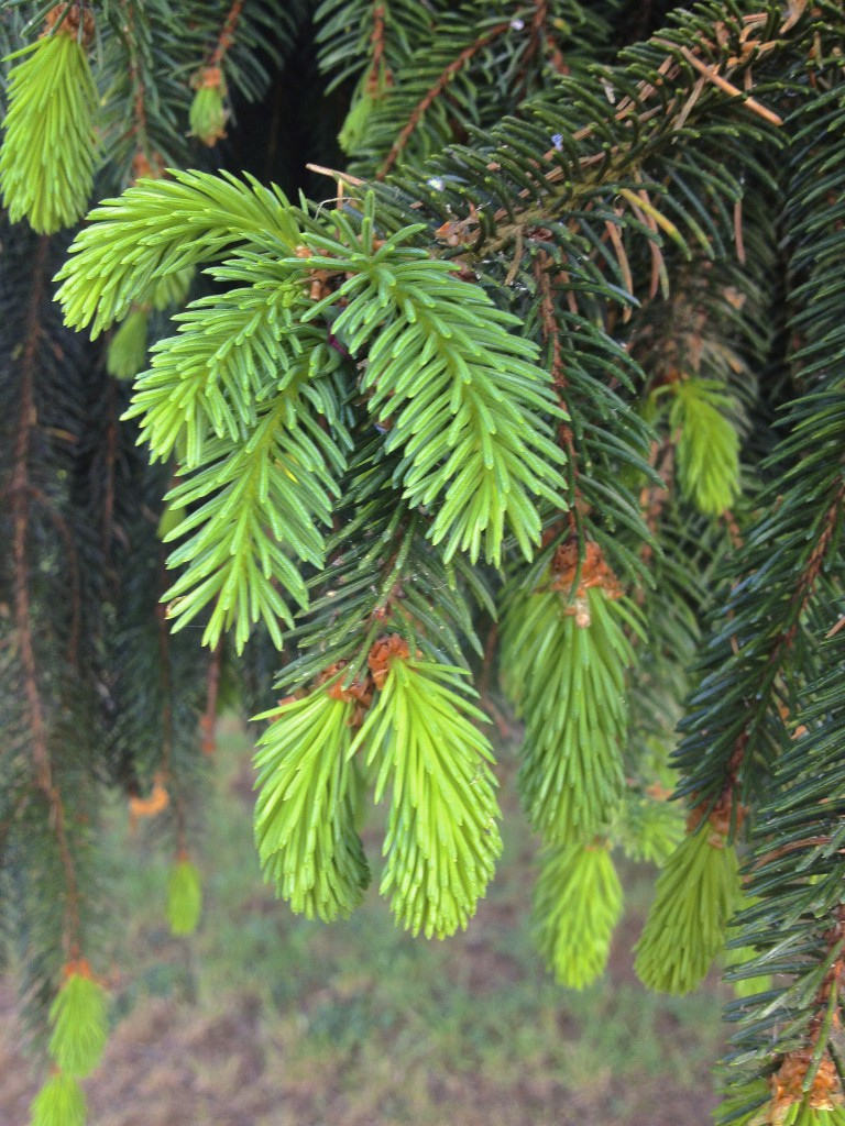 Junge Fichtenspitzen am Baum (Copyright: wilderwegesrand.de)