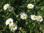 Gänseblümchen auf Wiese (Copyright: wilderwegesrand.de)