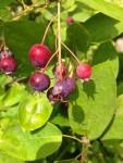 Felsenbirnen-Früchte (Copyright: wilderwegesrand.de)