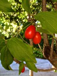 Früchte der Kornellkrische (Copyright: wilderwegesrand.de)
