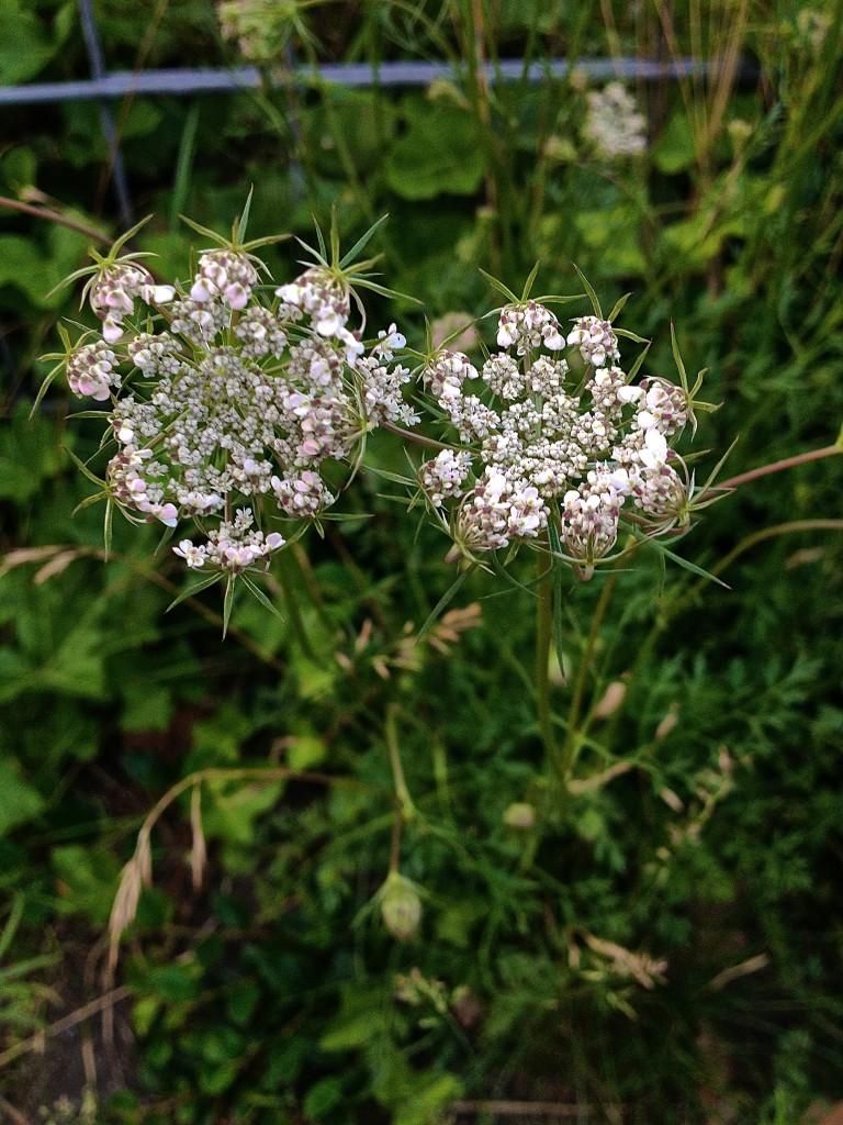 Wilde Möhre mit leicht geschlossener Blüte (Copyright: wilderwegesrand.de)
