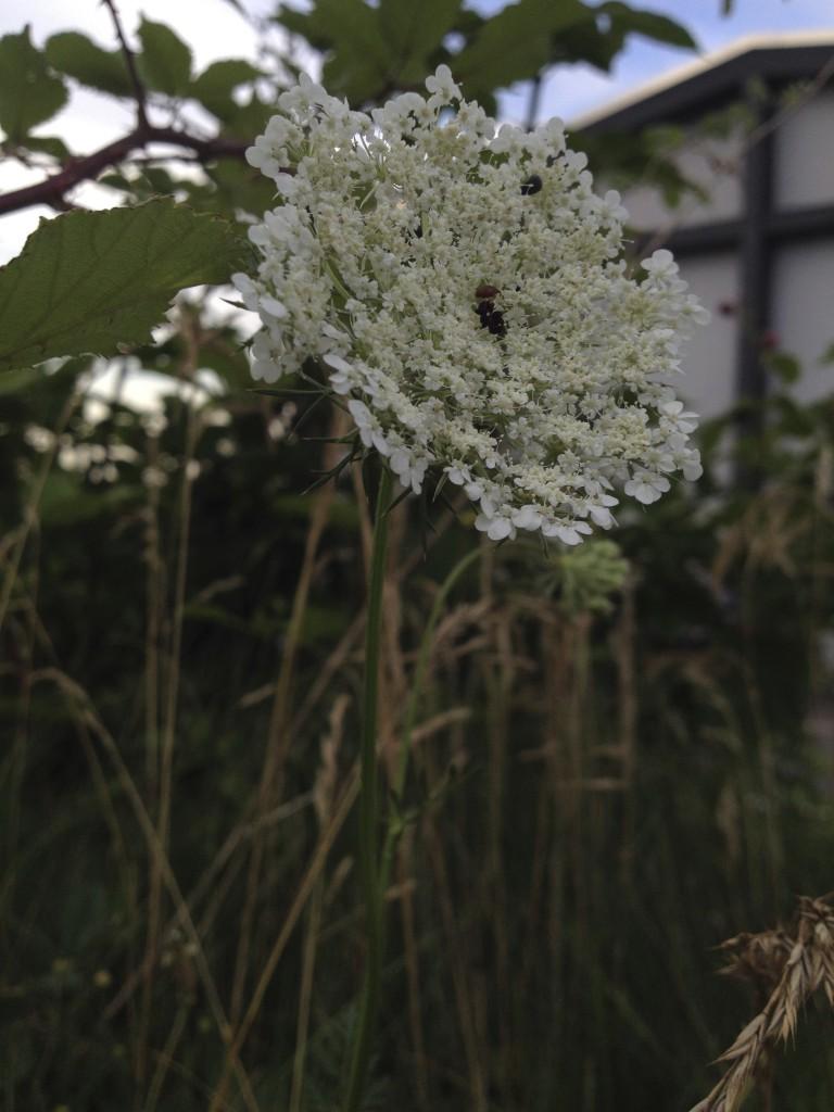 Die Wilde Möhre erkennt man am schwarzen Punkt in der Blütenmitte.