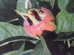 Mispelfrucht und Blätter (Copyright: wilderwegesrand.de)