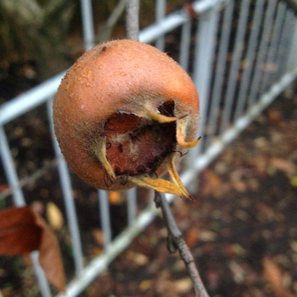 Mispelfrucht (Copyright: wilderwegesrand.de)