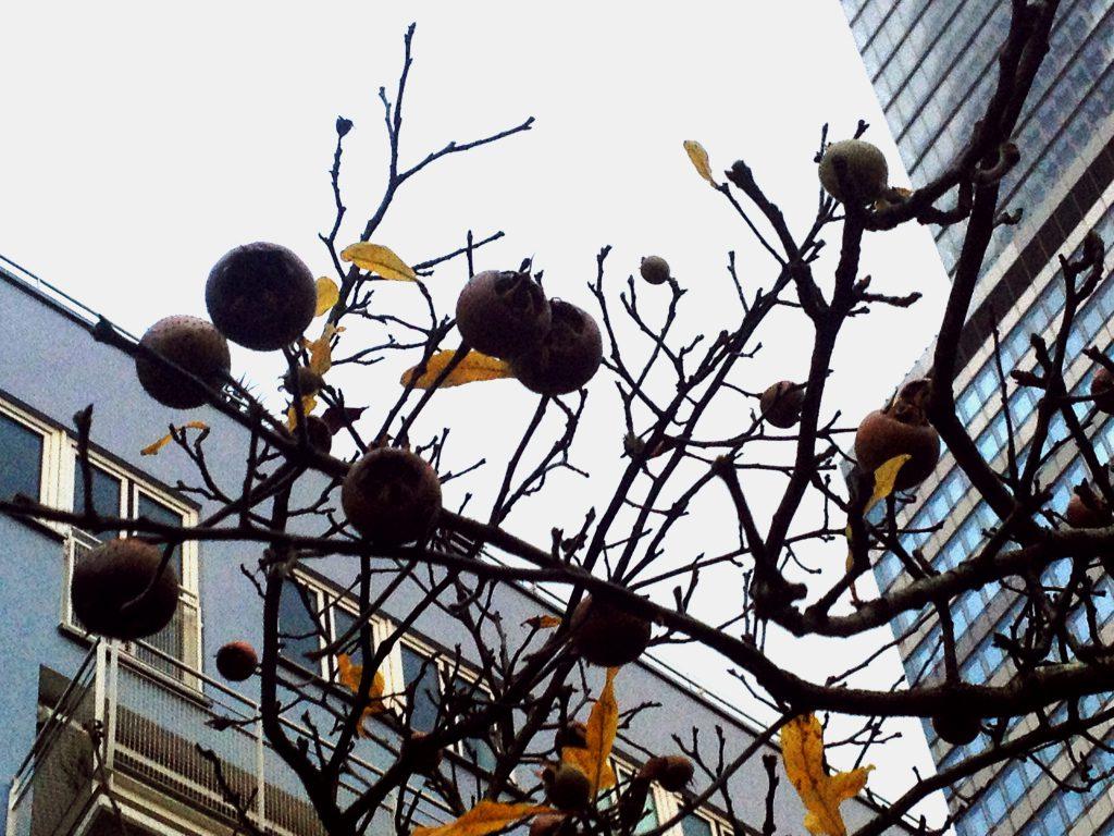 Mispelfrüchte am Baum (Copyright: wilderwegesrand.de)