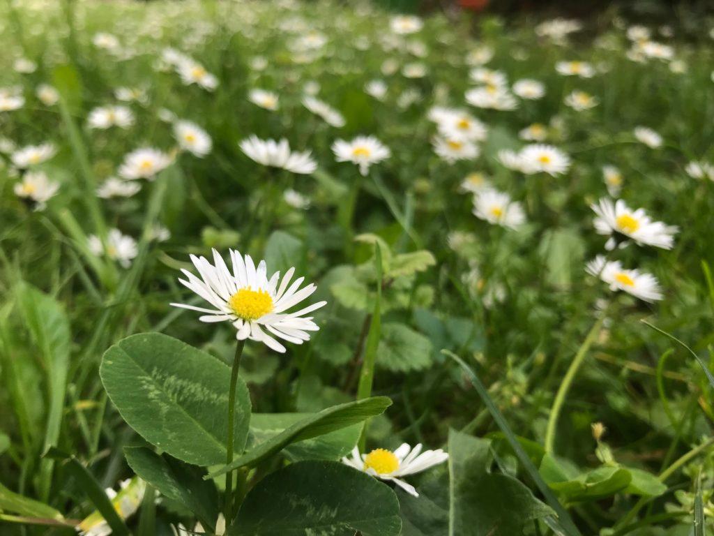Wiese mit Gänseblümchen, Klee und Gundermann (Copyright: wilderwegesrand.de)