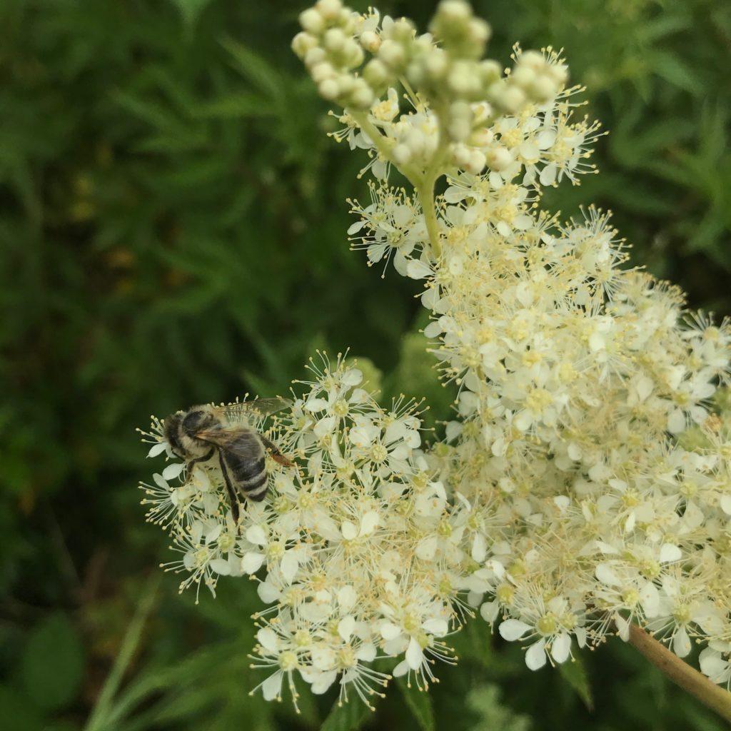 Biene auf einer Mädesüße-Blüten (copyright: wilderwegesrand.de)